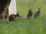 wycieczka do Szymanowa_kangury