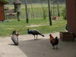 wycieczka do Szymanowa_paw i kury